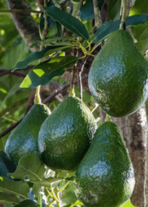 f5a43cb865041 Did you know that avocados are not only delicious they are also very  nutritious  Avocados have more protein than any other fruit and are an  excellent source ...